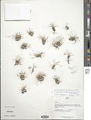 view Eleocharis albibracteata var. nubigena (C.B. Clarke) Barros digital asset number 1