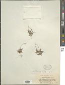 view Heloniopsis kawanoi (Koidz.) Honda digital asset number 1