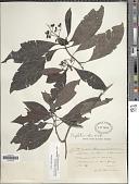 view Psychotria alba Ruiz & Pav. digital asset number 1
