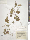 view Ipomoea aristolochiifolia G. Don digital asset number 1