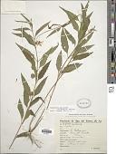 view Angelphytum aspilioides (Griseb.) H. Rob. digital asset number 1