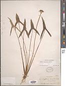 view Sagittaria latifolia Willd. digital asset number 1