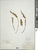 view Notholaena mollis Kunze digital asset number 1
