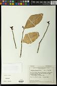 view Pedilanthus calcaratus Schltdl. digital asset number 1