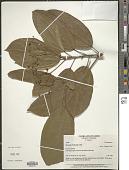view Hasseltia floribunda H.B.K. digital asset number 1