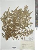 view Cyathea dregei Kunze digital asset number 1