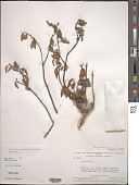view Dulacia redmondii Steyerm. digital asset number 1