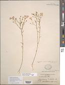 view Agalinis obtusifolia Raf. digital asset number 1