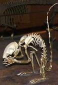 view Protosciurus jeffersoni (Douglass) digital asset number 1