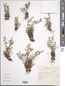 view Woodsia scopulina D.C. Eaton digital asset number 1