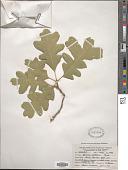 view Quercus gambelii Nutt. digital asset number 1