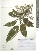 view Dendrophorbium missionum (Cabrera) C. Jeffrey digital asset number 1