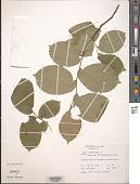 view Ulmus procera Salisb. digital asset number 1
