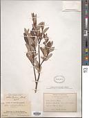 view Salix planifolia var. nelsoni (C.R. Ball) C.R. Ball ex E.C. Sm. digital asset number 1