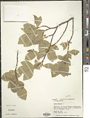 view Dirca palustris L. digital asset number 1