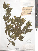 view Carpinus caroliniana var. virginiana Walter digital asset number 1