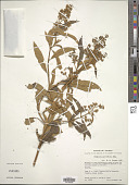 view Buddleja parviflora Kunth digital asset number 1