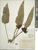 view Neolepisorus ovatus (Bedd.) Ching digital asset number 1