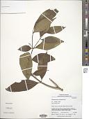 view Tabernaemontana heterophylla Vahl digital asset number 1