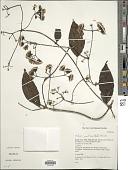 view Mikania parviflora (Aubl.) Karst. digital asset number 1