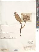 view Allium mirum Wendelbo digital asset number 1