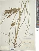 view Carex sodiroi Kük. digital asset number 1