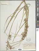 view Carex indica L. digital asset number 1