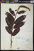 view Mabea fistulifera subsp. robusta Emmerich digital asset number 1