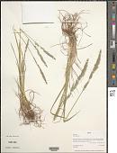 view Hemerocallis fulva L. digital asset number 1