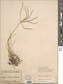 view Chloris halophila var. humilis C.H. Müll. digital asset number 1