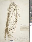 view Rhynchospora gracilenta A. Gray digital asset number 1
