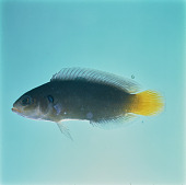 view Pseudochromis linda Randall & Stanaland digital asset number 1
