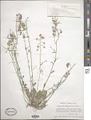 view Lesquerella purpurea subsp. purpurea digital asset number 1