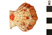 view Lions-paw Scallop, Lion's Paw digital asset number 1
