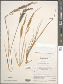 view Calamagrostis planifolia (Kunth) Trin. ex Steud. digital asset number 1