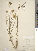 view Helianthus angustifolius L. digital asset number 1