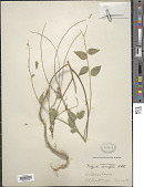 view Polygala rivinifolia Kunth digital asset number 1
