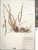 view Fosterella penduliflora (C.H. Wright) L.B. Sm. digital asset number 1