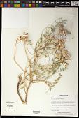 view Astragalus praelongus E. Sheld. digital asset number 1