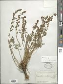 view Artemisia sp. digital asset number 1