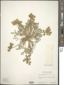 view Lomatium dasycarpum (Torr. & A. Gray) J.M. Coult. & Rose digital asset number 1