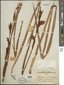 view Gladiolus quartinianus A. Rich. digital asset number 1