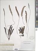 view Blechnum penna-marina subsp. alpina T.C. Chambers & P. A. Farrant digital asset number 1