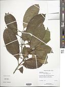 view Tabernaemontana citrifolia L. digital asset number 1