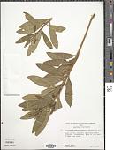 view Monnina pseudosalicifolia Ferreyra digital asset number 1