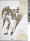 view Diplazium crenatoserratum (Blume) T. Moore digital asset number 1
