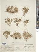 view Cyperus squarrosus L. digital asset number 1
