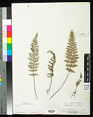 view Myriopteris notholaenoides (Desv.) Grusz & Windham digital asset number 1