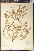 view Euphorbia potosina Fernald digital asset number 1