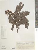 view Caesalpinia echinata Lam. digital asset number 1